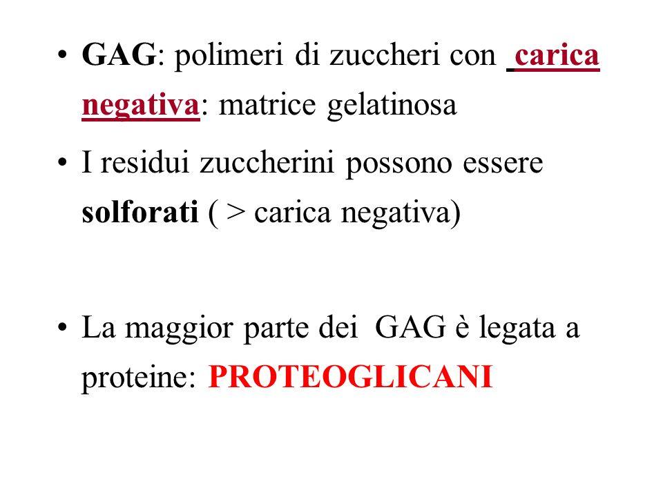 GAG: polimeri di zuccheri con carica negativa: matrice gelatinosa I residui zuccherini possono essere solforati ( > carica negativa) La maggior parte
