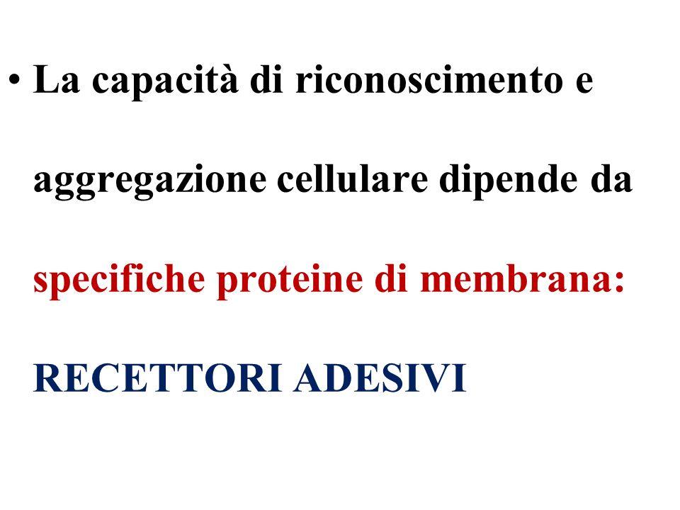 La capacità di riconoscimento e aggregazione cellulare dipende da specifiche proteine di membrana: RECETTORI ADESIVI