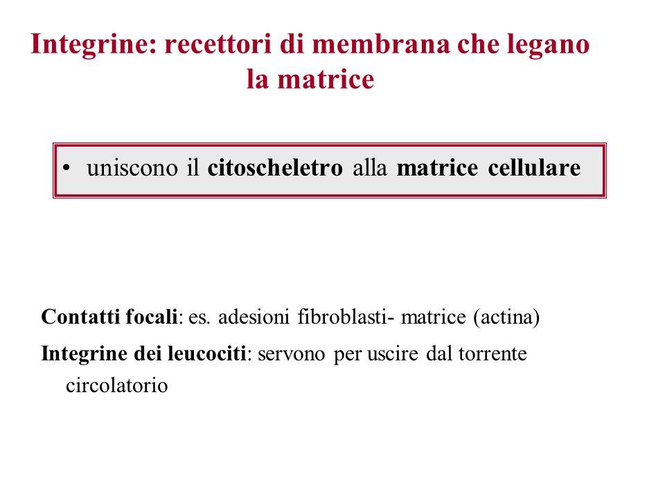 Integrine: recettori di membrana che legano la matrice uniscono il citoscheletro alla matrice cellulare Contatti focali: es. adesioni fibroblasti- mat