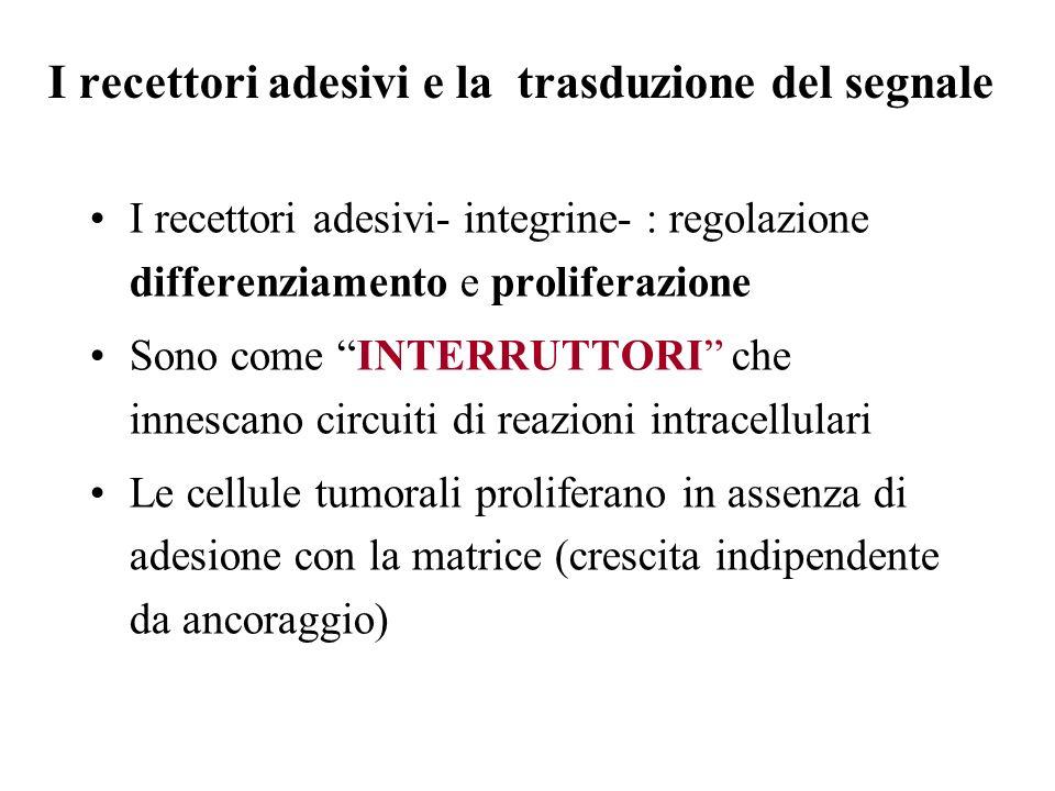 I recettori adesivi e la trasduzione del segnale I recettori adesivi- integrine- : regolazione differenziamento e proliferazione Sono come INTERRUTTOR