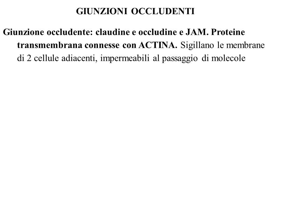 GIUNZIONI OCCLUDENTI Giunzione occludente: claudine e occludine e JAM. Proteine transmembrana connesse con ACTINA. Sigillano le membrane di 2 cellule