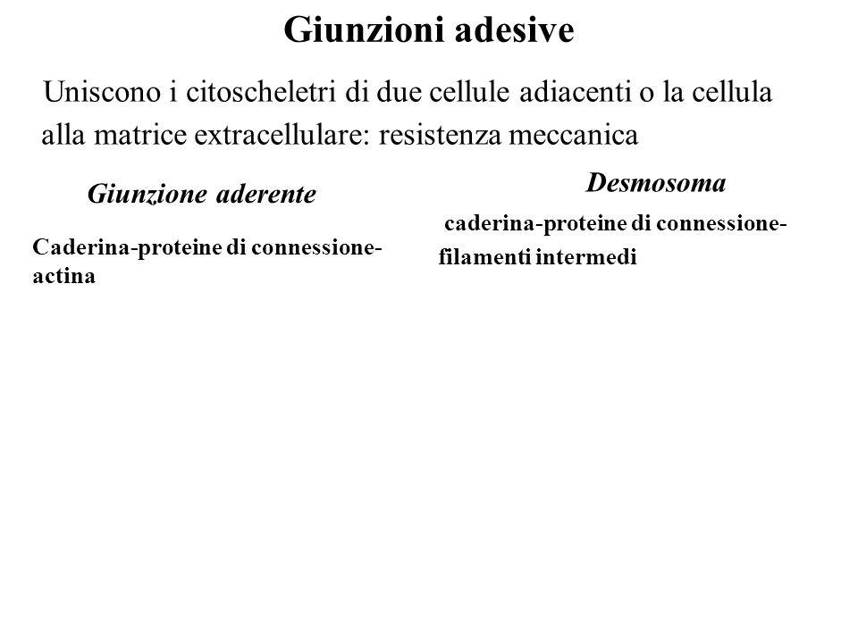 Giunzioni adesive Uniscono i citoscheletri di due cellule adiacenti o la cellula alla matrice extracellulare: resistenza meccanica Giunzione aderente