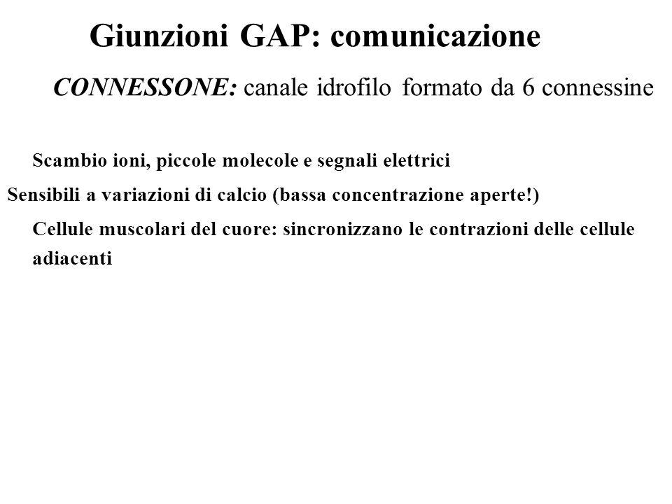 Giunzioni GAP: comunicazione Scambio ioni, piccole molecole e segnali elettrici Sensibili a variazioni di calcio (bassa concentrazione aperte!) Cellul