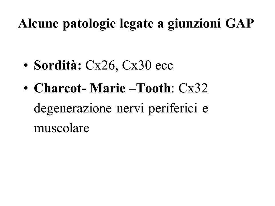 Alcune patologie legate a giunzioni GAP Sordità: Cx26, Cx30 ecc Charcot- Marie –Tooth: Cx32 degenerazione nervi periferici e muscolare