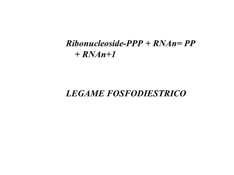 Ribonucleoside-PPP + RNAn= PP + RNAn+1 LEGAME FOSFODIESTRICO