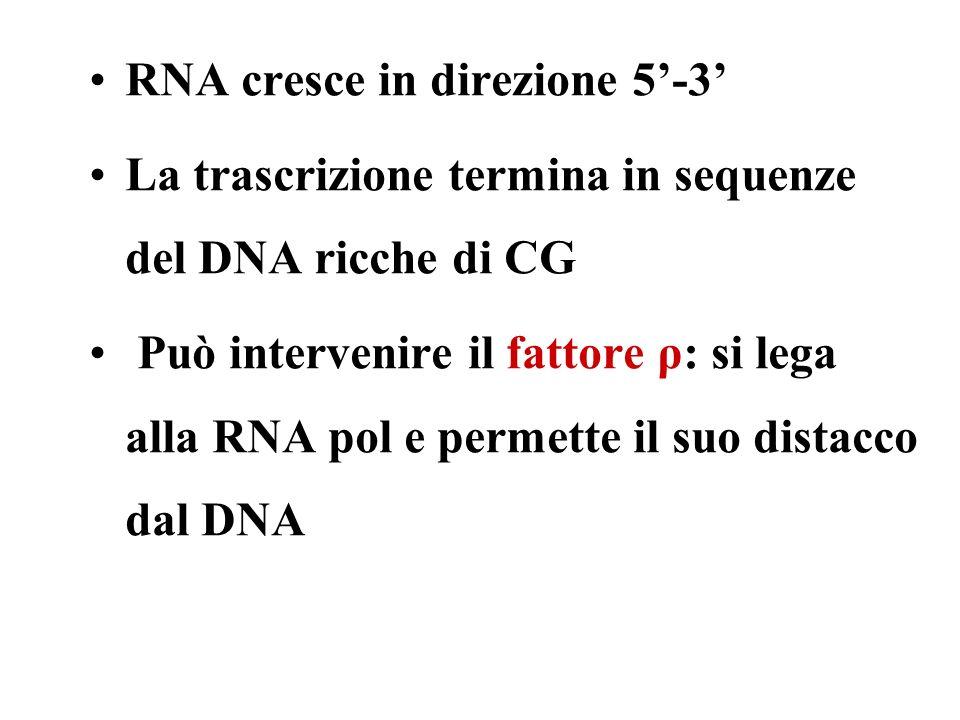 RNA cresce in direzione 5-3 La trascrizione termina in sequenze del DNA ricche di CG Può intervenire il fattore ρ: si lega alla RNA pol e permette il suo distacco dal DNA