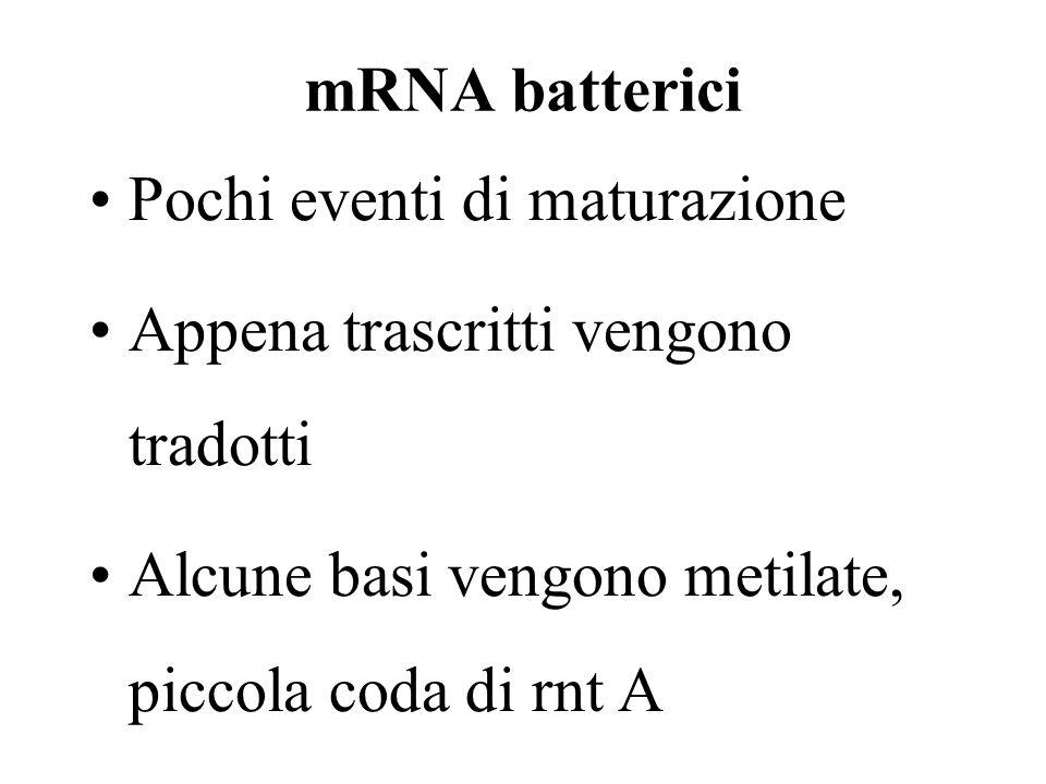 mRNA batterici Pochi eventi di maturazione Appena trascritti vengono tradotti Alcune basi vengono metilate, piccola coda di rnt A