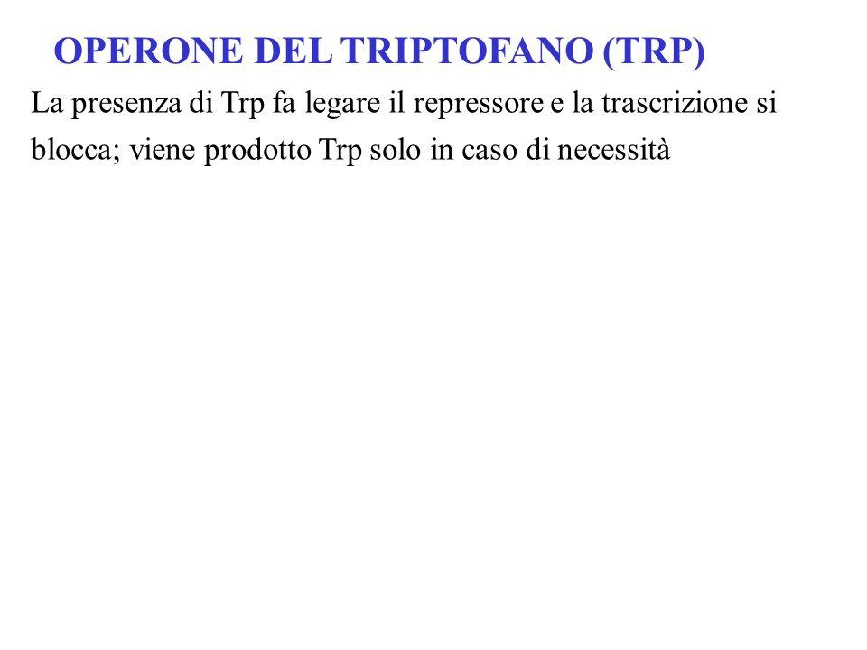 OPERONE DEL TRIPTOFANO (TRP) La presenza di Trp fa legare il repressore e la trascrizione si blocca; viene prodotto Trp solo in caso di necessità