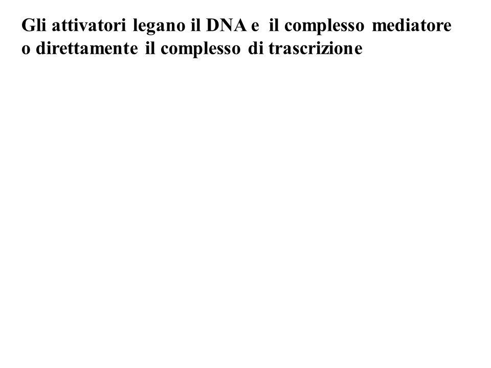 Gli attivatori legano il DNA e il complesso mediatore o direttamente il complesso di trascrizione