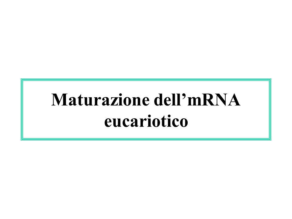 Maturazione dellmRNA eucariotico