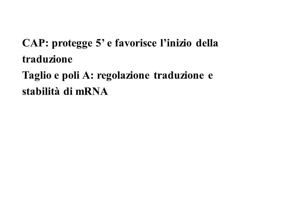 CAP: protegge 5 e favorisce linizio della traduzione Taglio e poli A: regolazione traduzione e stabilità di mRNA