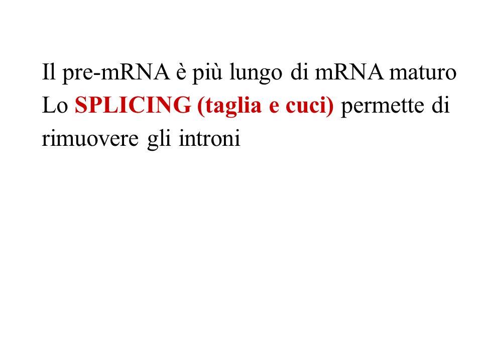 Il pre-mRNA è più lungo di mRNA maturo Lo SPLICING (taglia e cuci) permette di rimuovere gli introni