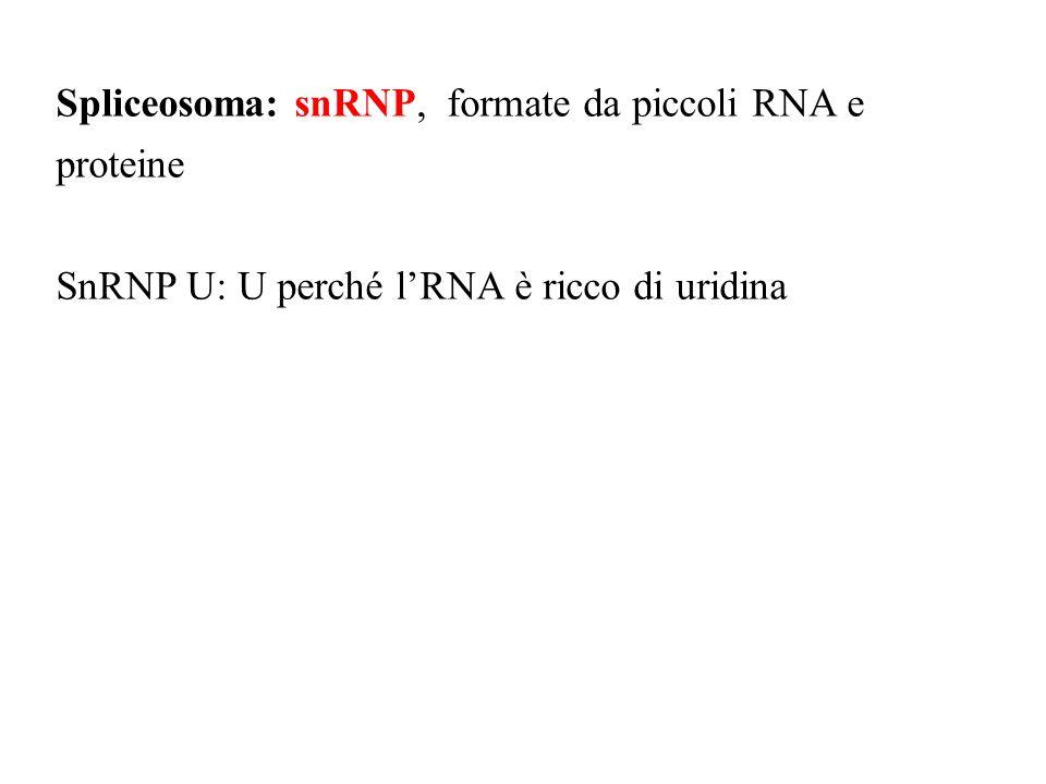 Spliceosoma: snRNP, formate da piccoli RNA e proteine SnRNP U: U perché lRNA è ricco di uridina