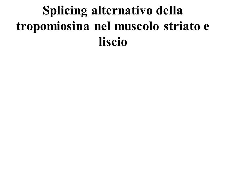 Splicing alternativo della tropomiosina nel muscolo striato e liscio