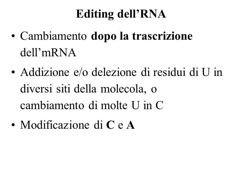 Editing dellRNA Cambiamento dopo la trascrizione dellmRNA Addizione e/o delezione di residui di U in diversi siti della molecola, o cambiamento di molte U in C Modificazione di C e A