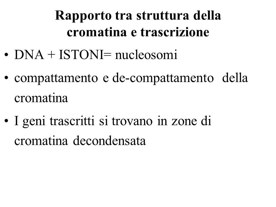 Rapporto tra struttura della cromatina e trascrizione DNA + ISTONI= nucleosomi compattamento e de-compattamento della cromatina I geni trascritti si trovano in zone di cromatina decondensata