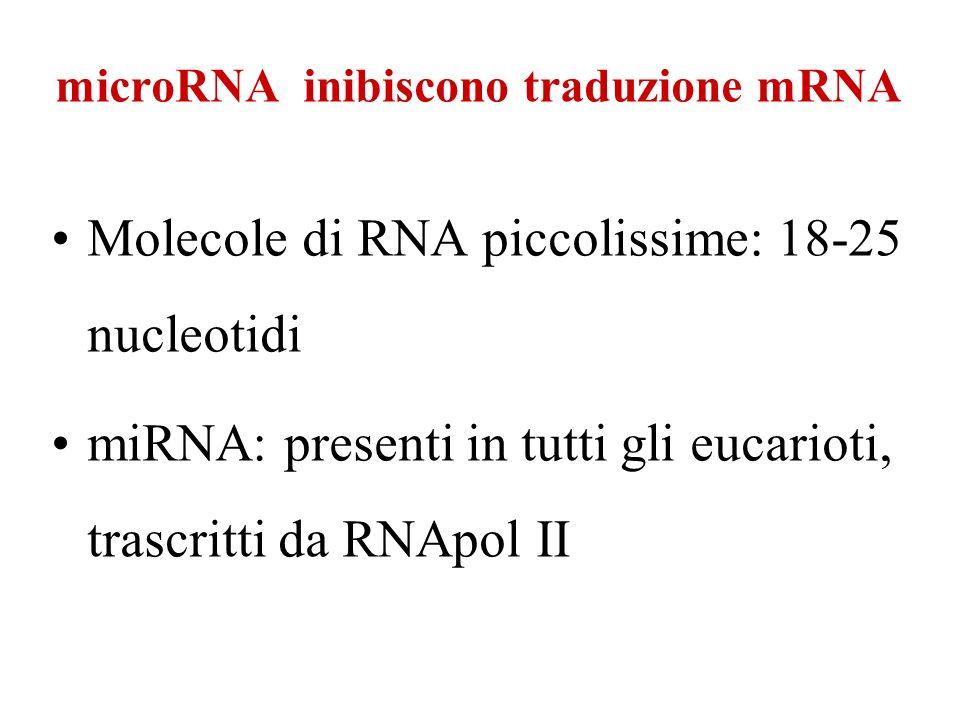 Molecole di RNA piccolissime: 18-25 nucleotidi miRNA: presenti in tutti gli eucarioti, trascritti da RNApol II microRNA inibiscono traduzione mRNA