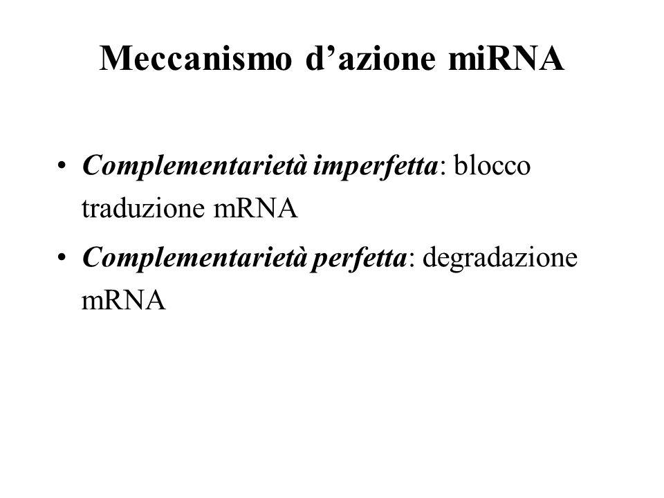 Meccanismo dazione miRNA Complementarietà imperfetta: blocco traduzione mRNA Complementarietà perfetta: degradazione mRNA
