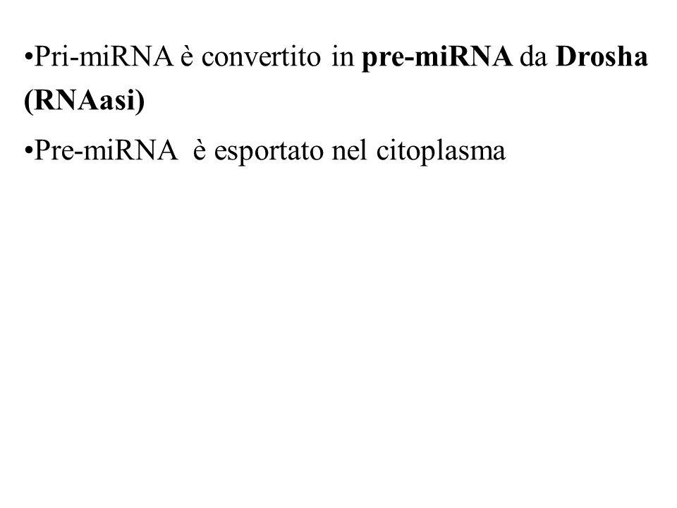 Pri-miRNA è convertito in pre-miRNA da Drosha (RNAasi) Pre-miRNA è esportato nel citoplasma