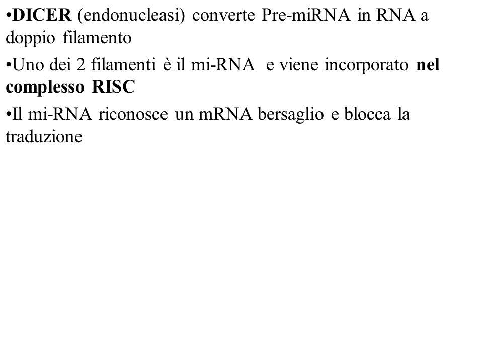 DICER (endonucleasi) converte Pre-miRNA in RNA a doppio filamento Uno dei 2 filamenti è il mi-RNA e viene incorporato nel complesso RISC Il mi-RNA riconosce un mRNA bersaglio e blocca la traduzione