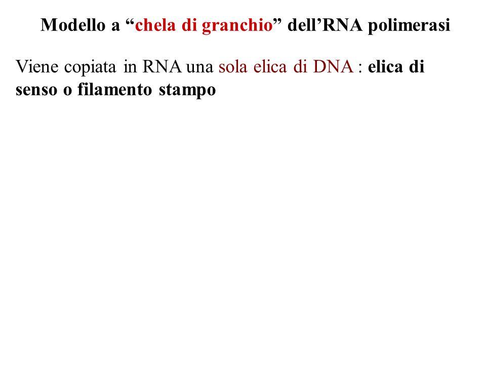 Modello a chela di granchio dellRNA polimerasi Viene copiata in RNA una sola elica di DNA : elica di senso o filamento stampo