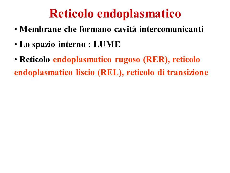 Reticolo endoplasmatico Membrane che formano cavità intercomunicanti Lo spazio interno : LUME Reticolo endoplasmatico rugoso (RER), reticolo endoplasm