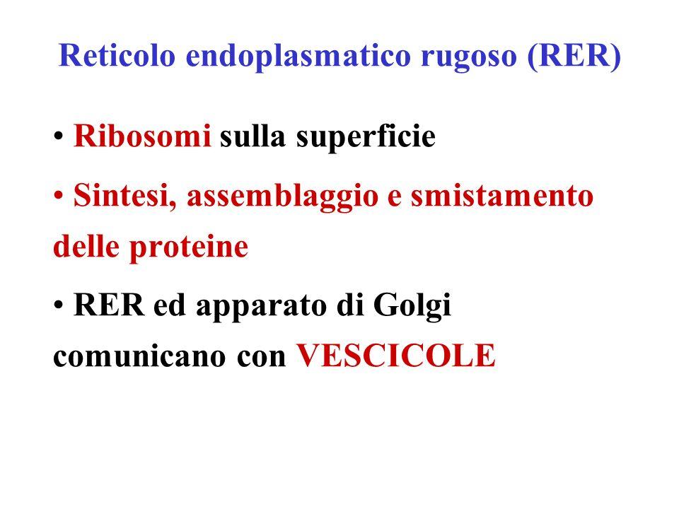 Reticolo endoplasmatico rugoso (RER) Ribosomi sulla superficie Sintesi, assemblaggio e smistamento delle proteine RER ed apparato di Golgi comunicano