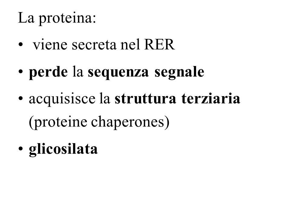 La proteina: viene secreta nel RER perde la sequenza segnale acquisisce la struttura terziaria (proteine chaperones) glicosilata
