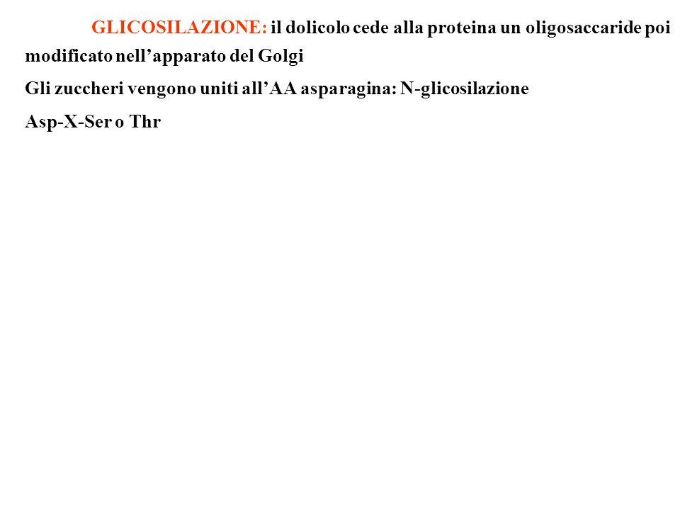 GLICOSILAZIONE: il dolicolo cede alla proteina un oligosaccaride poi modificato nellapparato del Golgi Gli zuccheri vengono uniti allAA asparagina: N-
