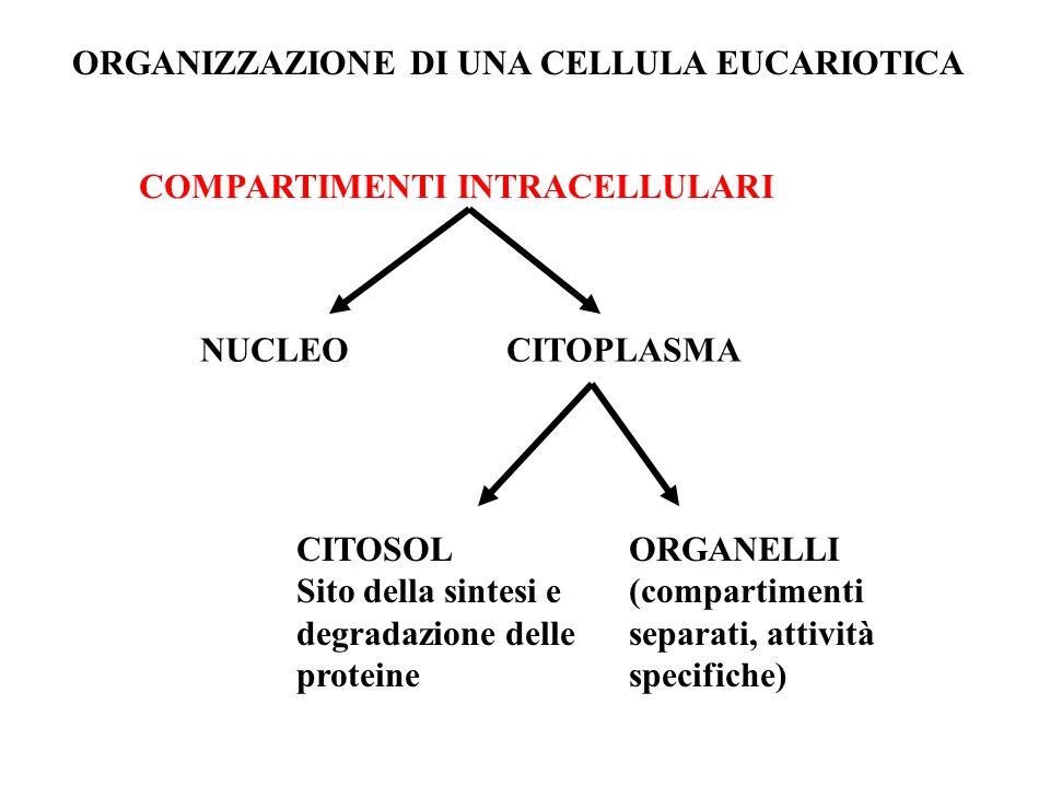Smistamento e trasporto delle proteine Meccanismo basato su SEQUENZE SEGNALE