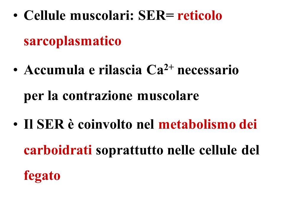Cellule muscolari: SER= reticolo sarcoplasmatico Accumula e rilascia Ca 2+ necessario per la contrazione muscolare Il SER è coinvolto nel metabolismo