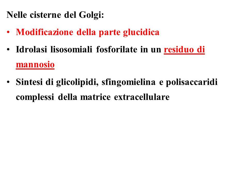 Nelle cisterne del Golgi: Modificazione della parte glucidica Idrolasi lisosomiali fosforilate in un residuo di mannosio Sintesi di glicolipidi, sfing