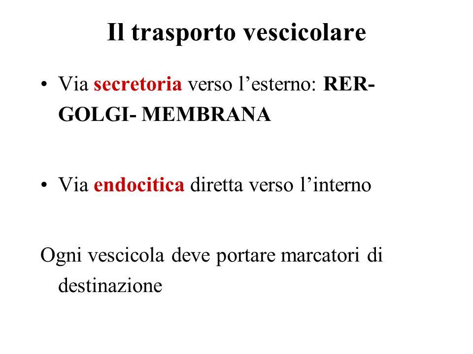 Il trasporto vescicolare Via secretoria verso lesterno: RER- GOLGI- MEMBRANA Via endocitica diretta verso linterno Ogni vescicola deve portare marcato
