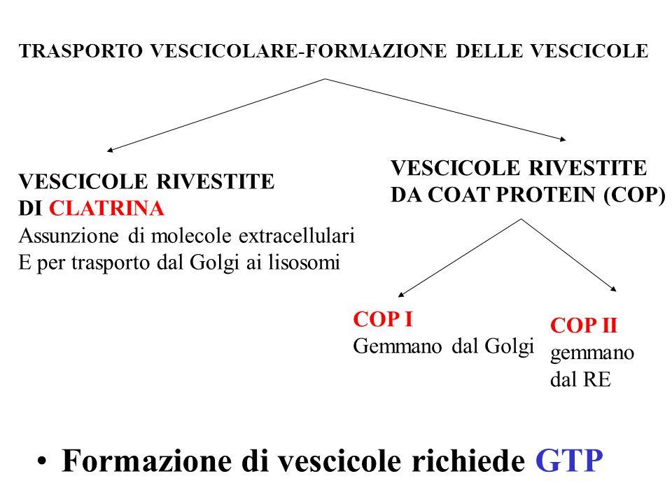 TRASPORTO VESCICOLARE-FORMAZIONE DELLE VESCICOLE VESCICOLE RIVESTITE DI CLATRINA Assunzione di molecole extracellulari E per trasporto dal Golgi ai li
