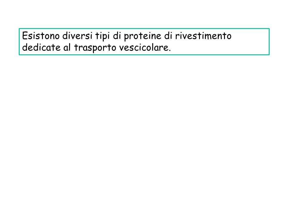 Esistono diversi tipi di proteine di rivestimento dedicate al trasporto vescicolare.