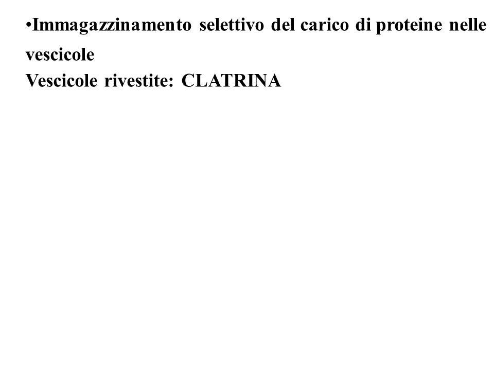 Immagazzinamento selettivo del carico di proteine nelle vescicole Vescicole rivestite: CLATRINA