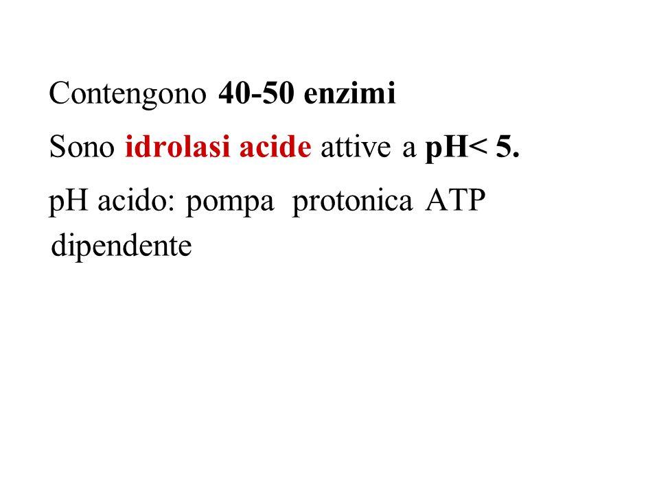 Contengono 40-50 enzimi Sono idrolasi acide attive a pH< 5. pH acido: pompa protonica ATP dipendente