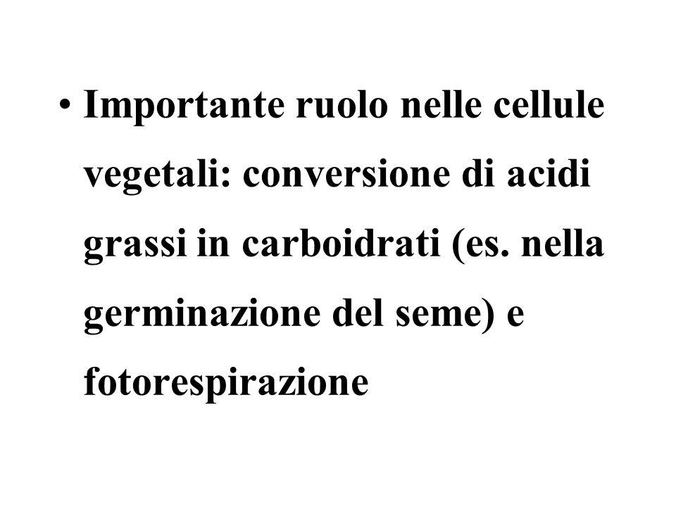 Importante ruolo nelle cellule vegetali: conversione di acidi grassi in carboidrati (es. nella germinazione del seme) e fotorespirazione