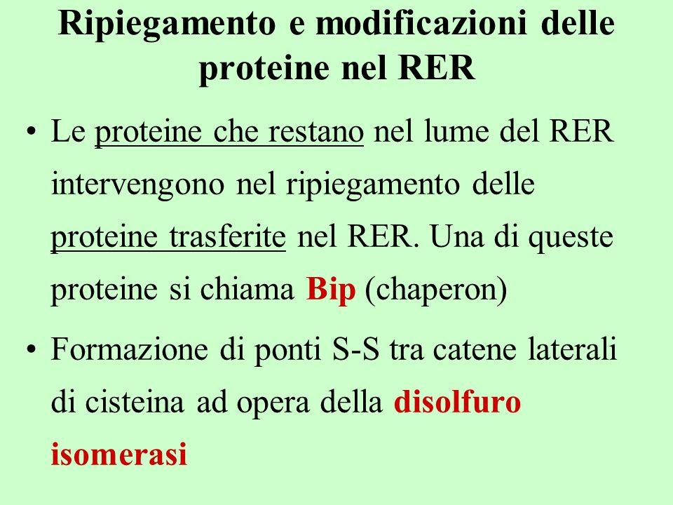 Ripiegamento e modificazioni delle proteine nel RER Le proteine che restano nel lume del RER intervengono nel ripiegamento delle proteine trasferite n