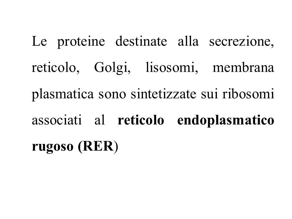 Le proteine destinate alla secrezione, reticolo, Golgi, lisosomi, membrana plasmatica sono sintetizzate sui ribosomi associati al reticolo endoplasmat