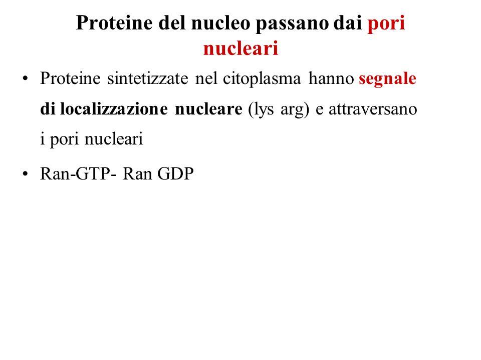 Proteine del nucleo passano dai pori nucleari Proteine sintetizzate nel citoplasma hanno segnale di localizzazione nucleare (lys arg) e attraversano i