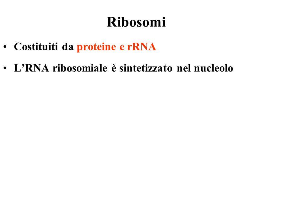Ribosomi Costituiti da proteine e rRNA LRNA ribosomiale è sintetizzato nel nucleolo