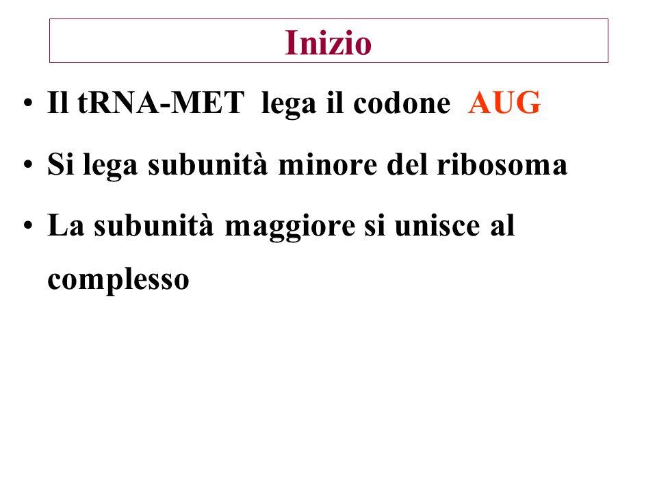 Inizio Il tRNA-MET lega il codone AUG Si lega subunità minore del ribosoma La subunità maggiore si unisce al complesso