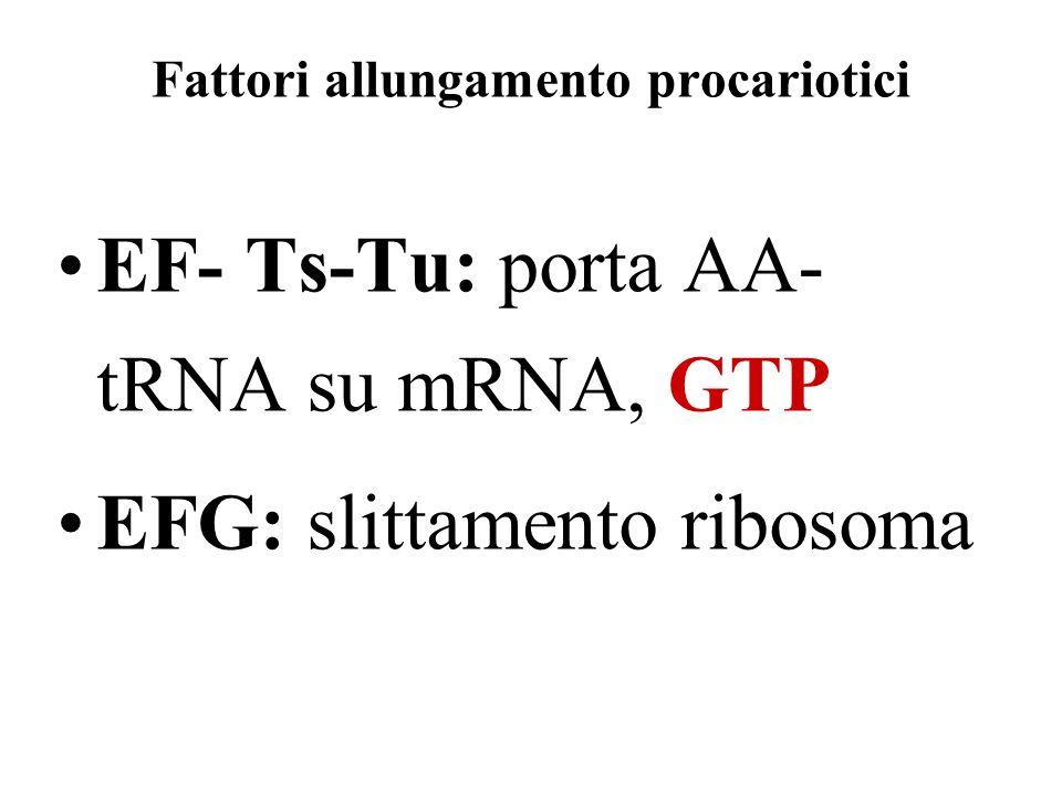 Fattori allungamento procariotici EF- Ts-Tu: porta AA- tRNA su mRNA, GTP EFG: slittamento ribosoma