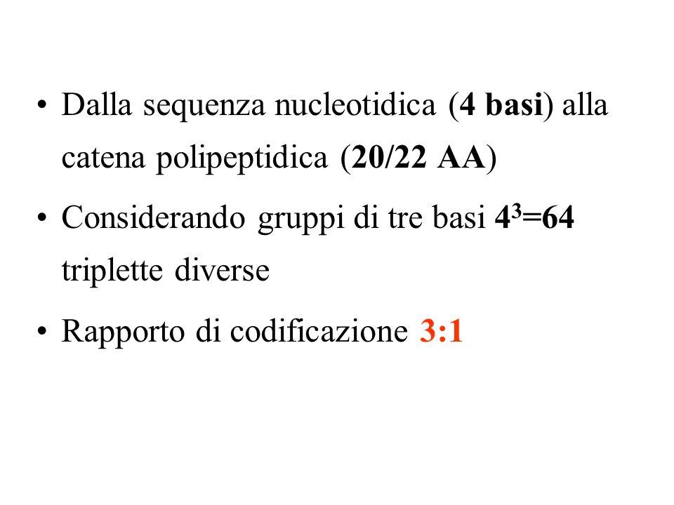 Dalla sequenza nucleotidica (4 basi) alla catena polipeptidica (20/22 AA) Considerando gruppi di tre basi 4 3 =64 triplette diverse Rapporto di codificazione 3:1