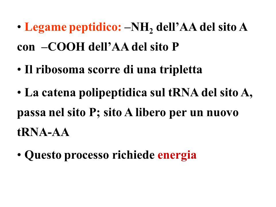 Legame peptidico: –NH 2 dellAA del sito A con –COOH dellAA del sito P Il ribosoma scorre di una tripletta La catena polipeptidica sul tRNA del sito A, passa nel sito P; sito A libero per un nuovo tRNA-AA Questo processo richiede energia