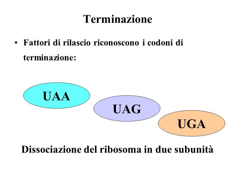 Terminazione Fattori di rilascio riconoscono i codoni di terminazione: Dissociazione del ribosoma in due subunità UAA UAG UGA