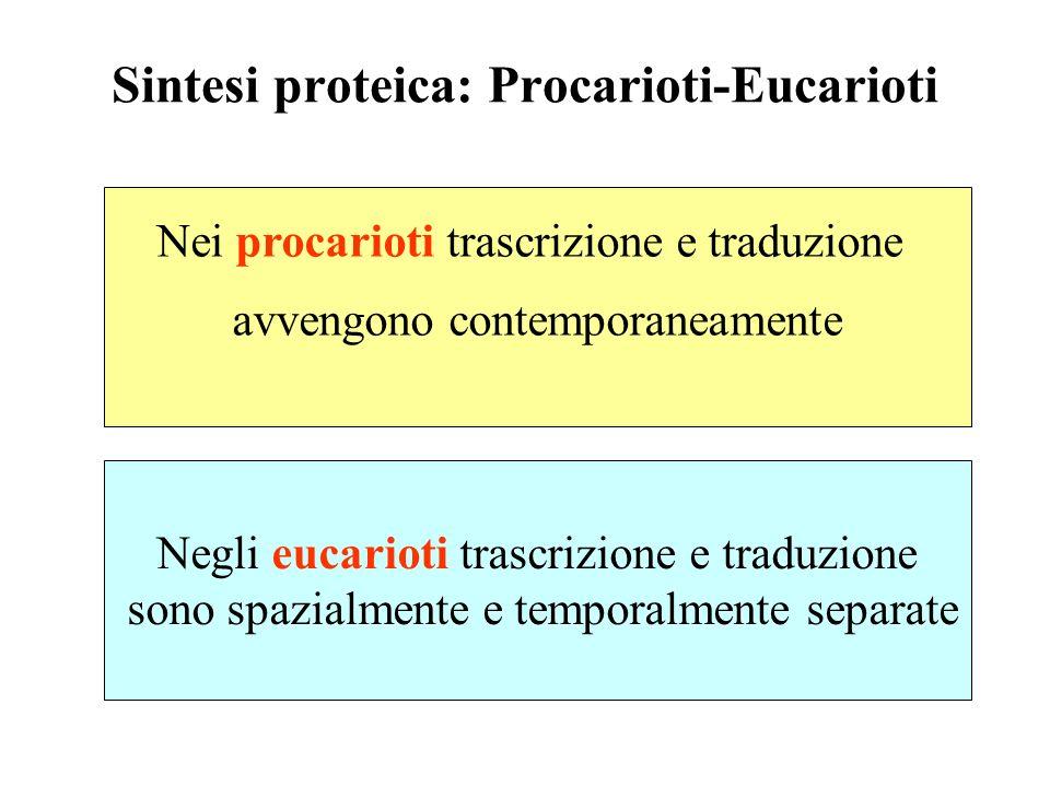 Sintesi proteica: Procarioti-Eucarioti Nei procarioti trascrizione e traduzione avvengono contemporaneamente Negli eucarioti trascrizione e traduzione sono spazialmente e temporalmente separate
