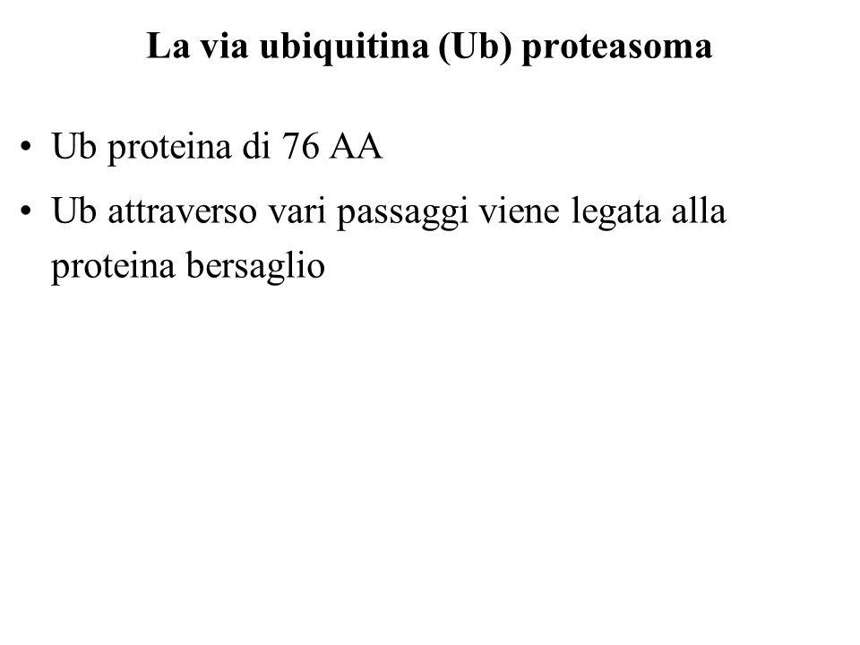 La via ubiquitina (Ub) proteasoma Ub proteina di 76 AA Ub attraverso vari passaggi viene legata alla proteina bersaglio