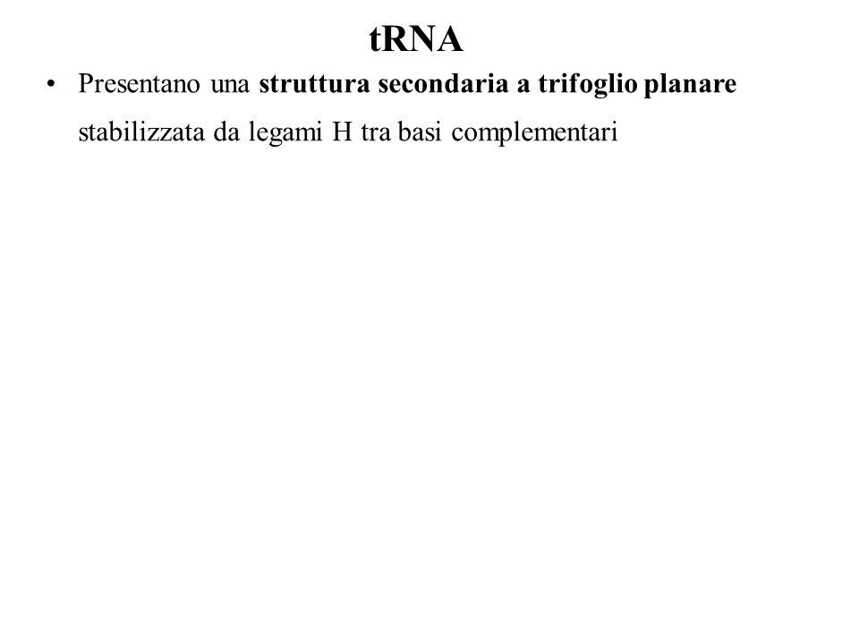Presentano una struttura secondaria a trifoglio planare stabilizzata da legami H tra basi complementari tRNA